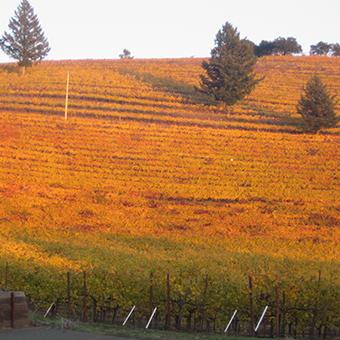 orange-vines-square