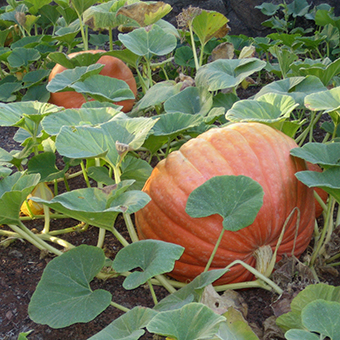 pumpkins-square